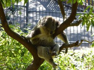 Luie koala