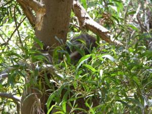 Mijn eerste wilde koala, alleen was ik net wat te laat en verbergt hij in de bosjes.