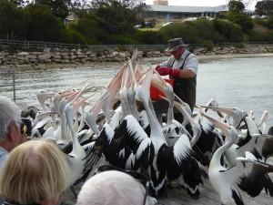 Op het eiland wordt elke dag een groep wilde pelikanen gevoerd.